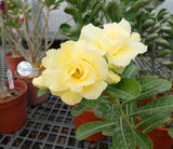 You are purchasing fresh seeds of Adenium KO_ebay94