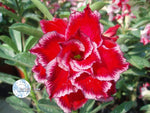 You are purchasing fresh seeds of Adenium Obesum Miracle