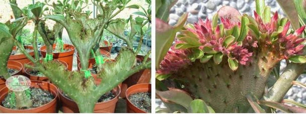 You are purchasing fresh seeds of Adenium Obesum Red Flabellate
