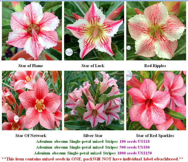 Adenium Single-petal mixed Stripes