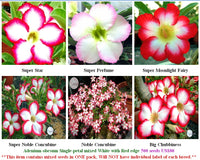 Adenium Single-petal mixed White with Red edge