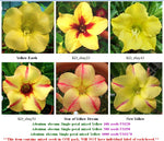 Adenium Single-petals mixed Yellow