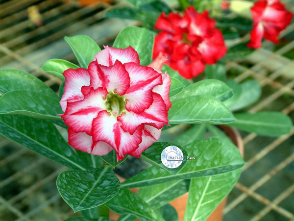 You are purchasing fresh seeds of Adenium Obesum Star of Legend