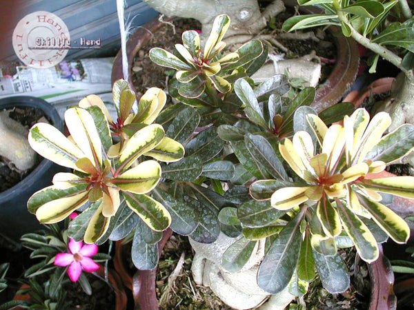 Adenium Obesum Super Yellow Maple Leaf seeds