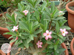 You are purchasing fresh seeds of Adenium Arabicum Tiny Ding Dong