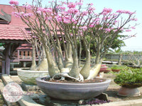 You are purchasing fresh seeds of Adenium Arabicum Desert Night Fork