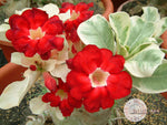 You are purchasing fresh seeds of Adenium Obesum Star of Top
