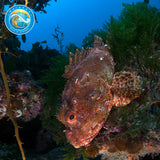Scorpion Fish at The Poor Knights
