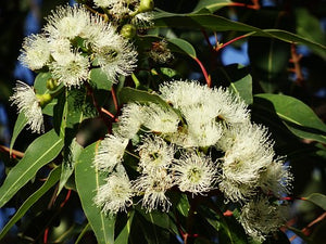 Eucalyptus | Premium Natural Essential Oils | Aromatherapy in NZ