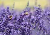Lavender | Premium Natural Essential Oils | Aromatherapy in NZ