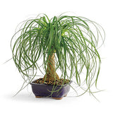 Ponytail palm (seedling)