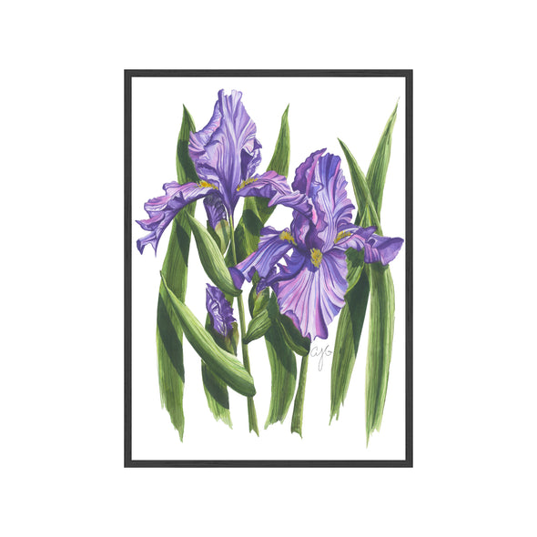 PURPLE IRISES Fine Art Watercolor Print