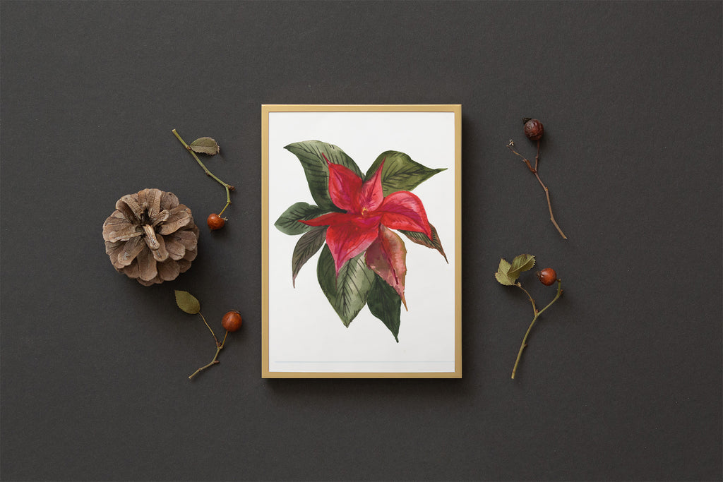 Small Poinsettia Blossom : A Thrill of Hope