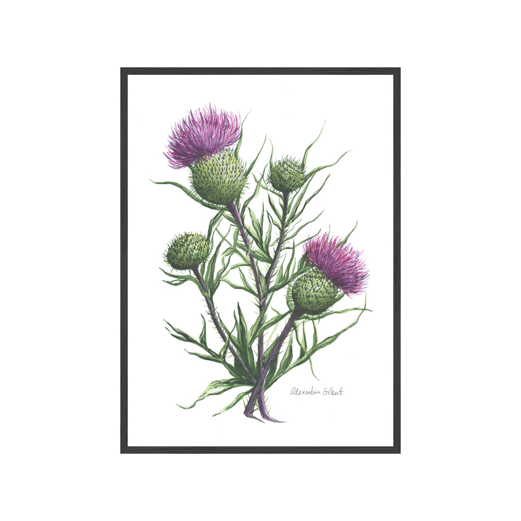 SCOTTISH THISTLE Fine Art Watercolor Print