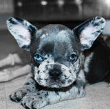 How Do French Bulldogs Get Blue Eyes?