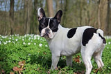 Can Dogs Get Coronavirus? French bulldogs and Covid-19