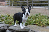 The Cutest French Bulldog Mixes! French Bulldog Crossbreeds