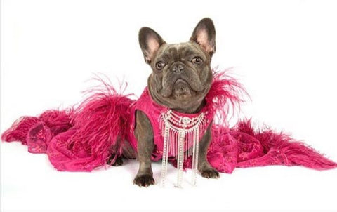 most fashionable french bulldogs