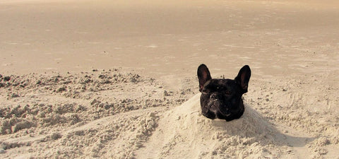 heatstroke in french bulldogs