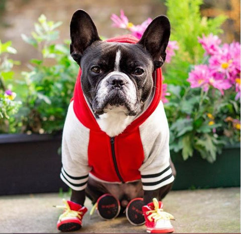 fashionable french bulldogs