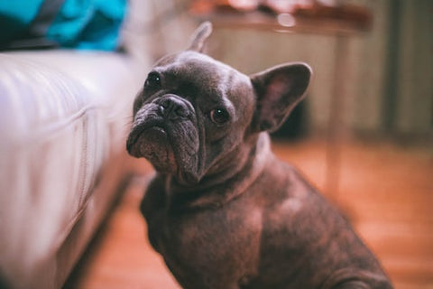 french bulldog pregnancy