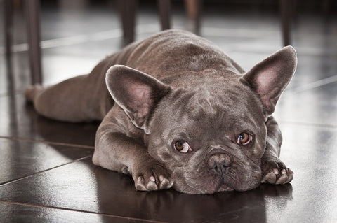 french bulldog pregnancy lying