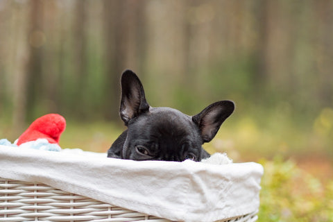 french bulldog pregnancy behavior