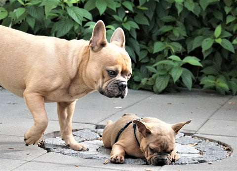 french bulldog mother