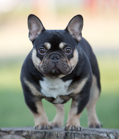 Rare French Bulldog Colors – Frenchie World Shop