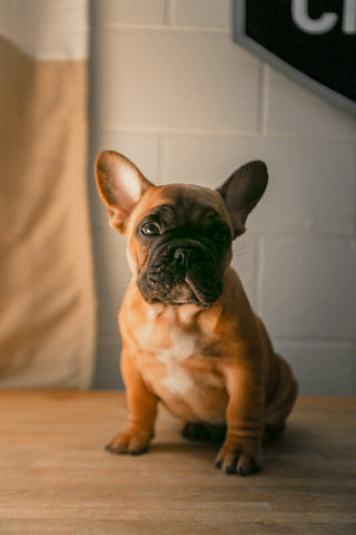 french bulldog hip dysplasia