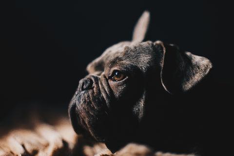 french-bulldog-nose-grey