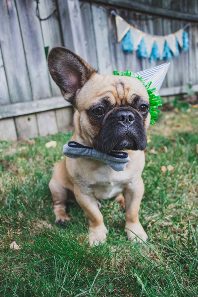 french bulldog pros and cons 2