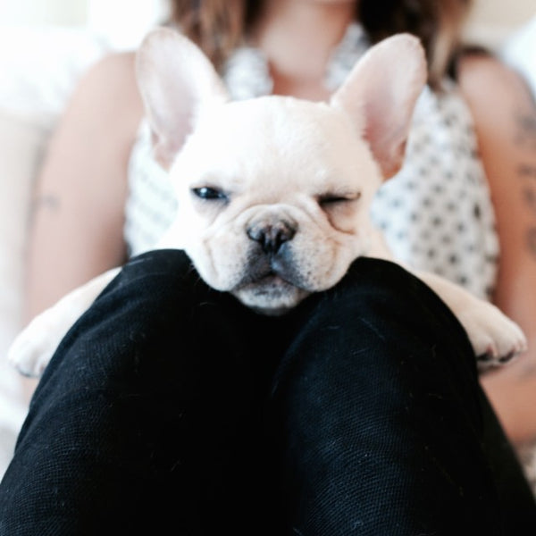 frenchie pros and cons
