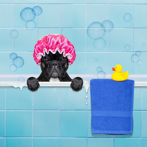 french bulldog bathing