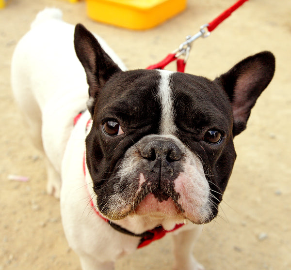 french bulldog pros and cons 3