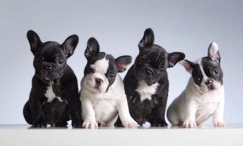 do french bulldogs change color