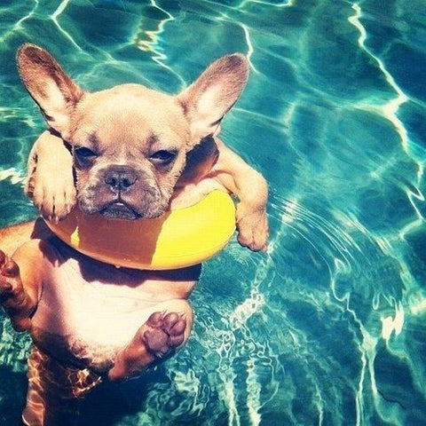 french bulldog swimming