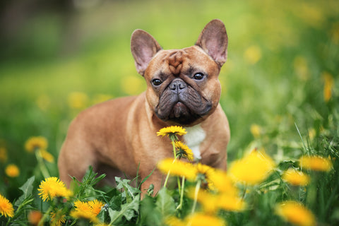 french bulldog eat grass