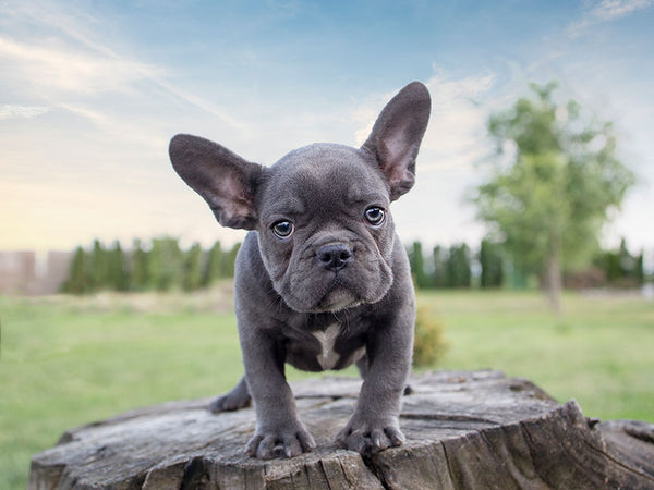 What Is The Mini French Bulldog Frenchie World Shop