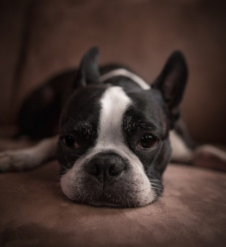mini french bulldog-sofa