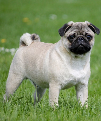 french bulldog pug mix