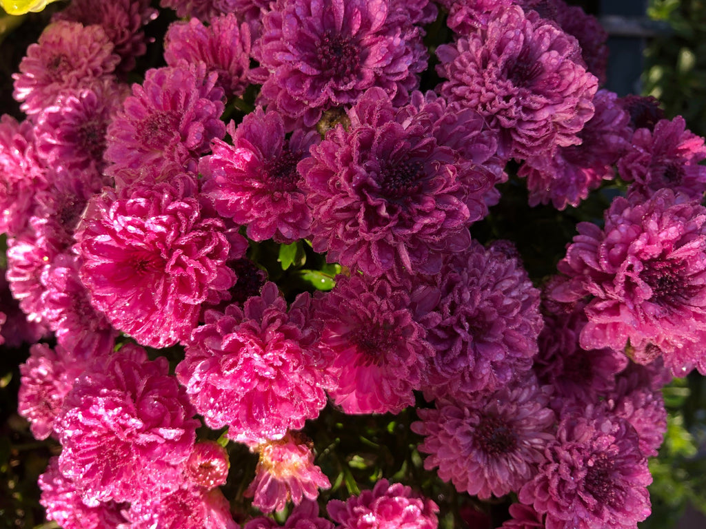 Chrysanthemums - Everyone's Favourite!