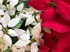 Poinsettias - a must-have for Christmas!