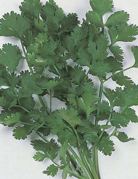 CORIANDER FOR LEAF