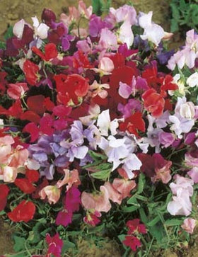 SWEET PEA EXPLORER MIXED DWARF