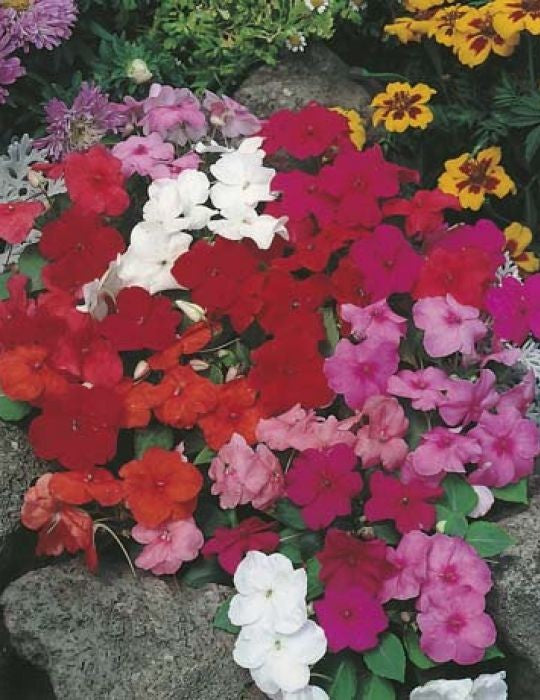 IMPATIENS SAFARI MIXED