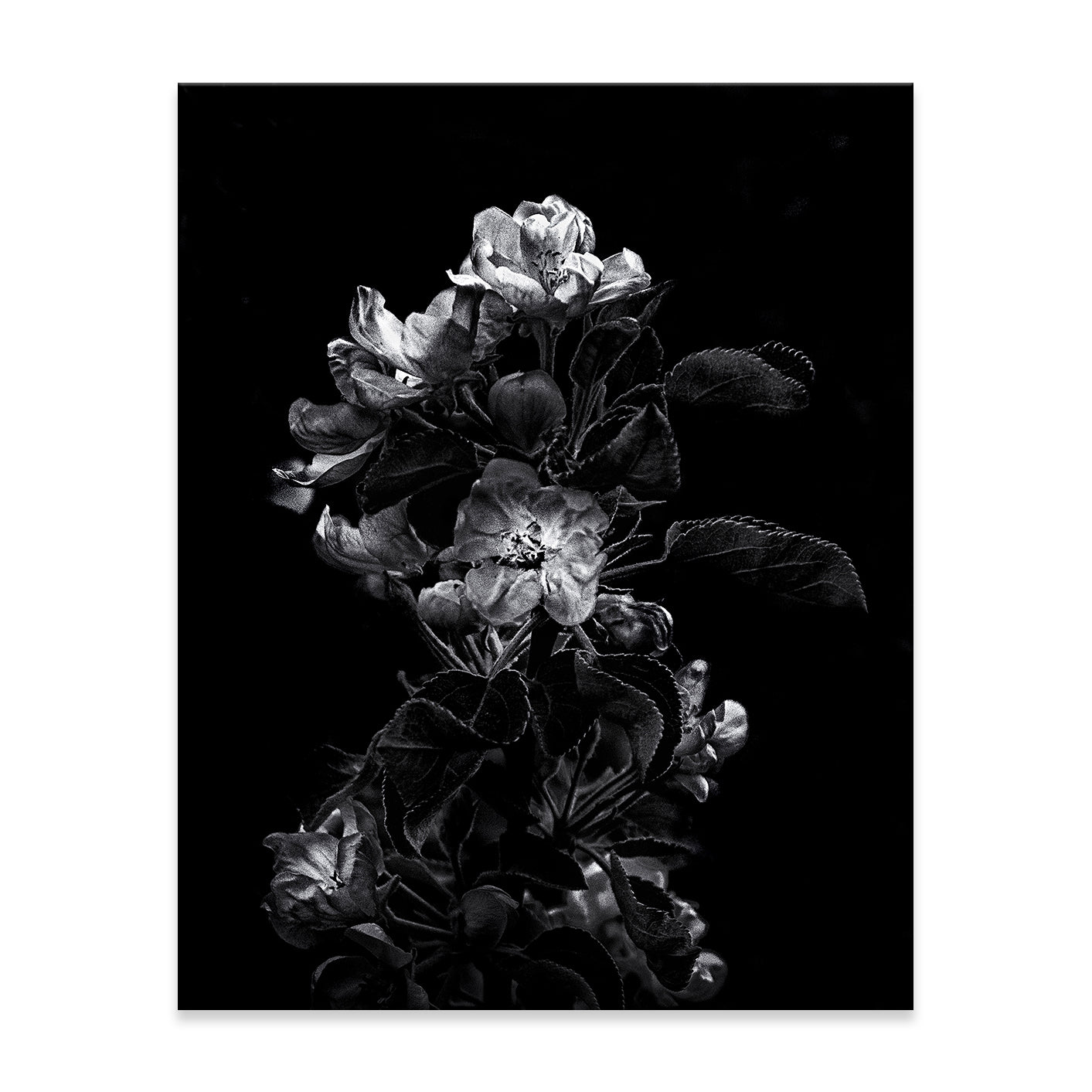 DARK BLOSSOMS