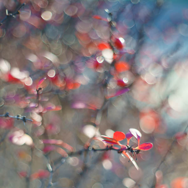 Barberry Bokeh