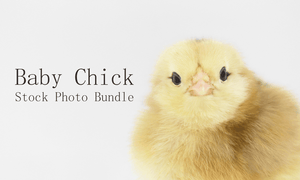 baby chick stock photos | royalty free bundle