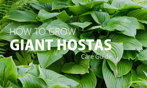 how to grow large hostas
